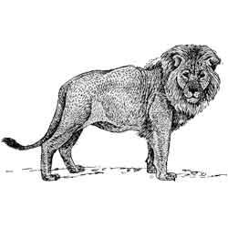 Лев — зверь, картинка чёрно-белая