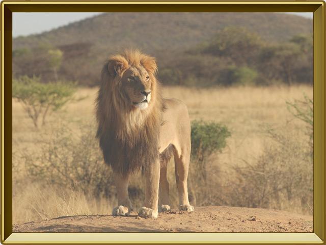 Лев — зверь, фото в рамке №2