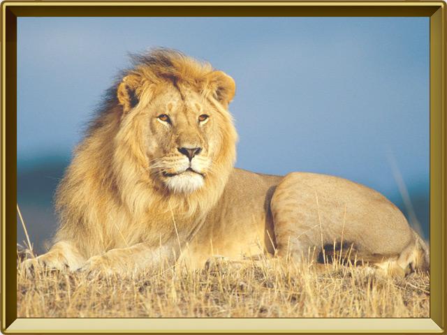 Лев — зверь, фото в рамке №3