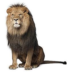 Лев — зверь, картинка цветная