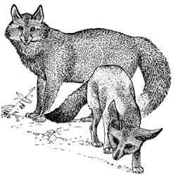 Лисица — зверь, картинка чёрно-белая