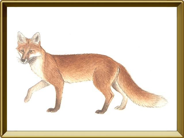 Лисица — зверь, фото в рамке №1