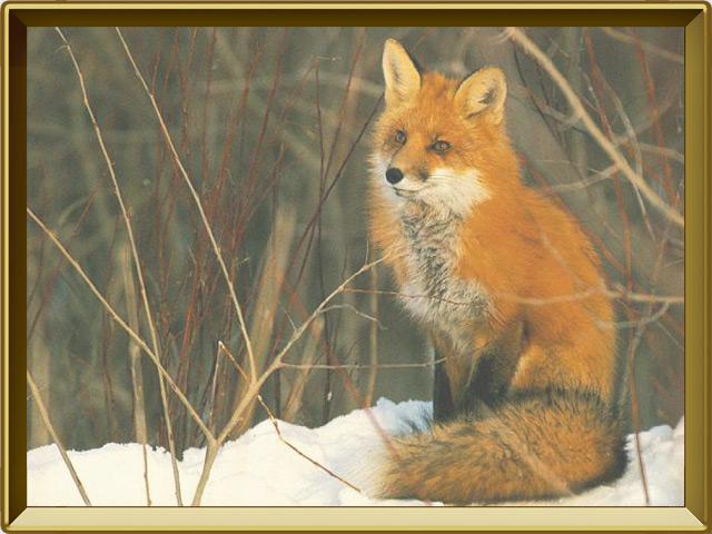 Лисица — зверь, фото в рамке №2