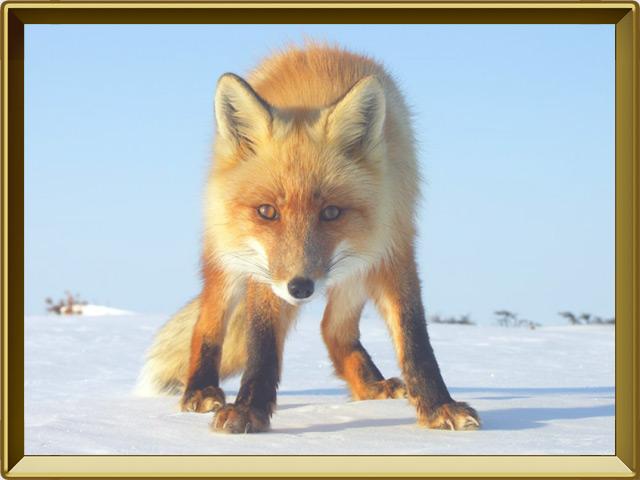 Лисица — зверь, фото в рамке №3