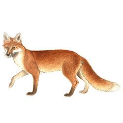 Лисица — зверь, картинка цветная