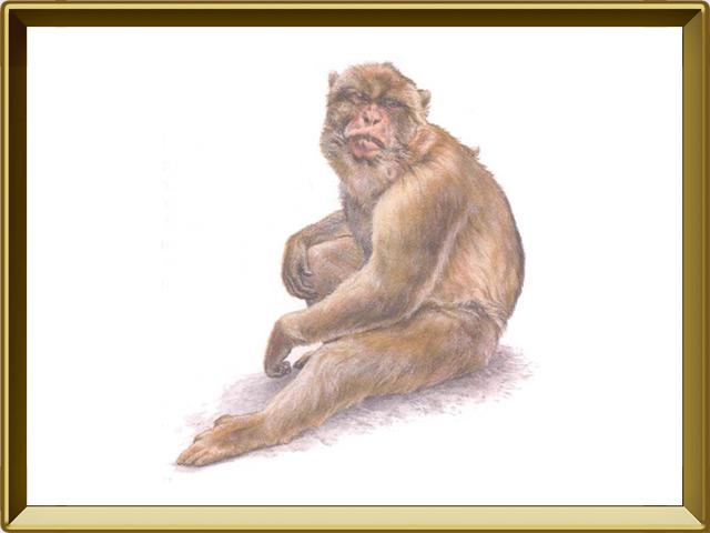 Макака — зверь, фото в рамке №1