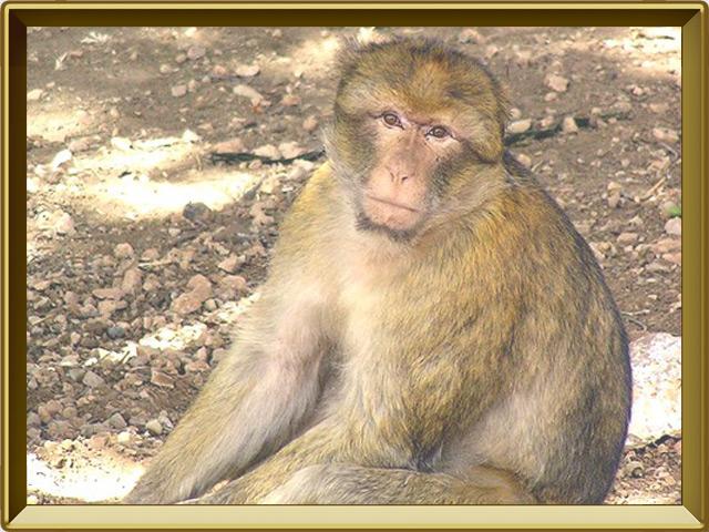 Макака — зверь, фото в рамке №3