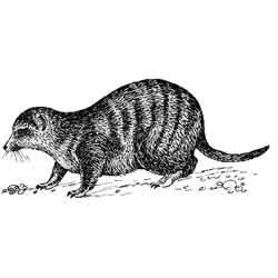 Мангуст — зверь, картинка чёрно-белая