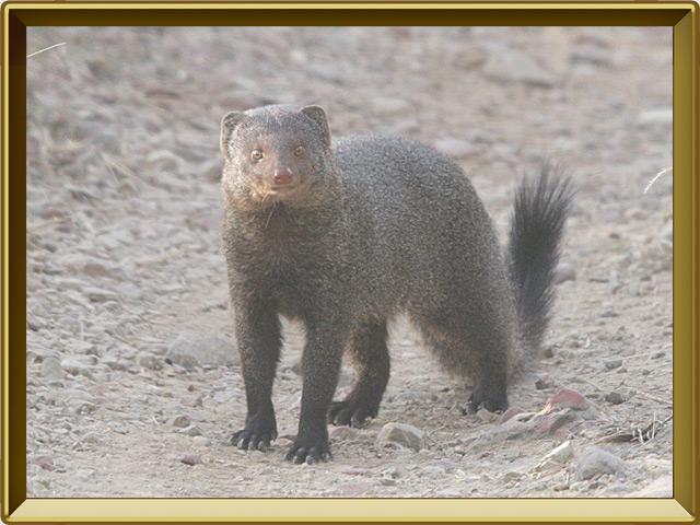 Мангуст — зверь, фото в рамке №2