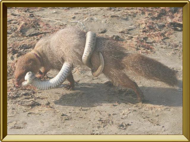 Мангуст — зверь, фото в рамке №3