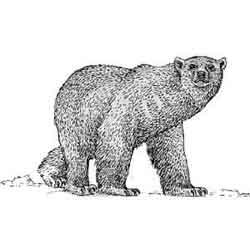 Медведь — зверь, картинка чёрно-белая