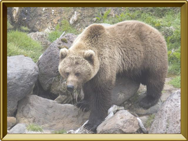 Медведь — зверь, фото в рамке №2