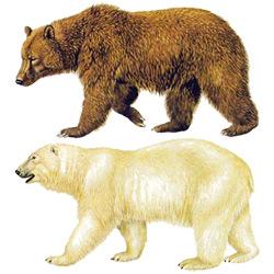 Медведь — зверь, картинка цветная