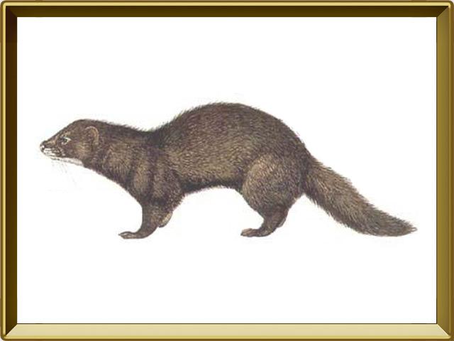 Норка — зверь, фото в рамке №1