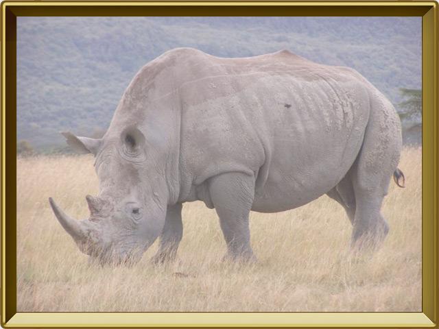 Носорог — зверь, фото в рамке №2