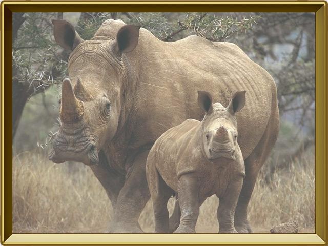 Носорог — зверь, фото в рамке №3