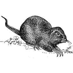 Нутрия — зверь, картинка чёрно-белая