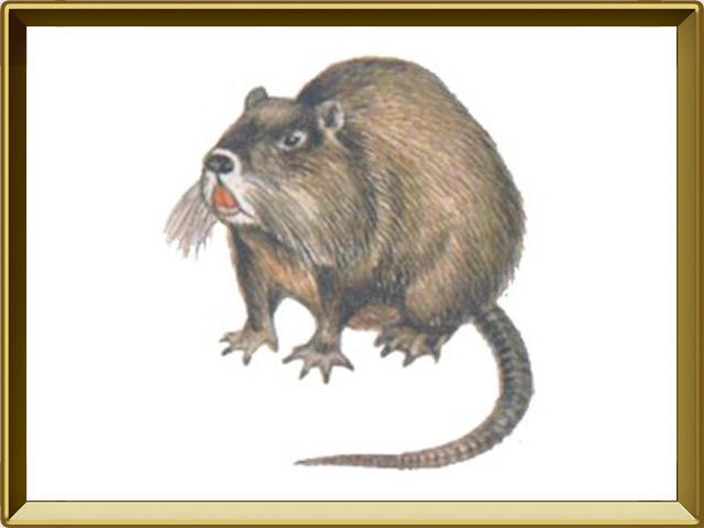 Нутрия — зверь, фото в рамке №1