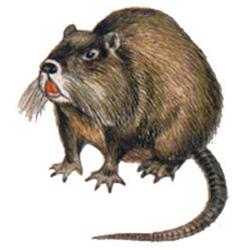 Нутрия — зверь, картинка цветная