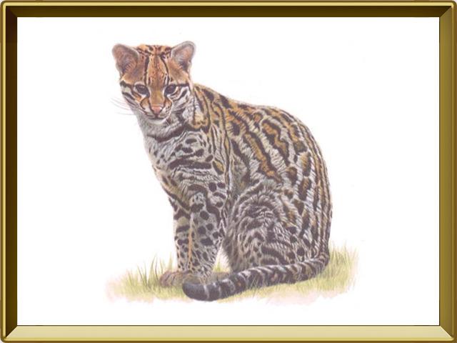 Оцелот — зверь, фото в рамке №1