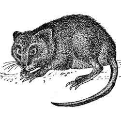 Ондатра — зверь, картинка чёрно-белая