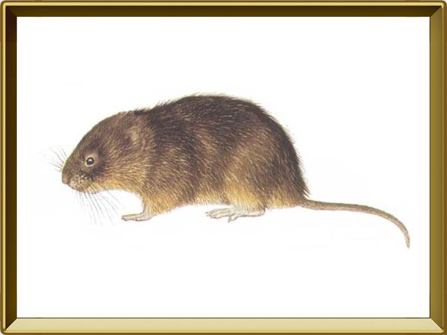 Ондатра — зверь, фото в рамке №1