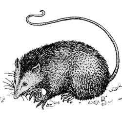 Опоссум — зверь, картинка чёрно-белая
