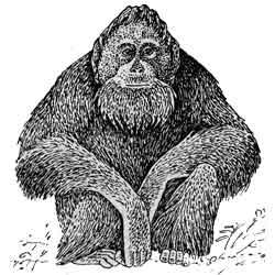 Орангутан — зверь, картинка чёрно-белая