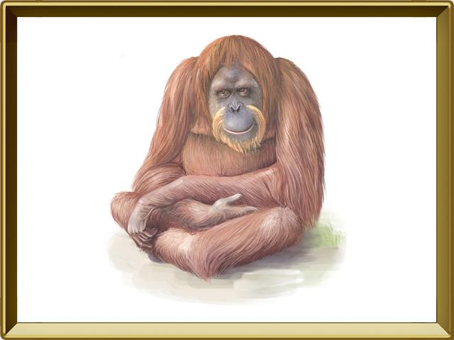 Орангутан — зверь, фото в рамке №1