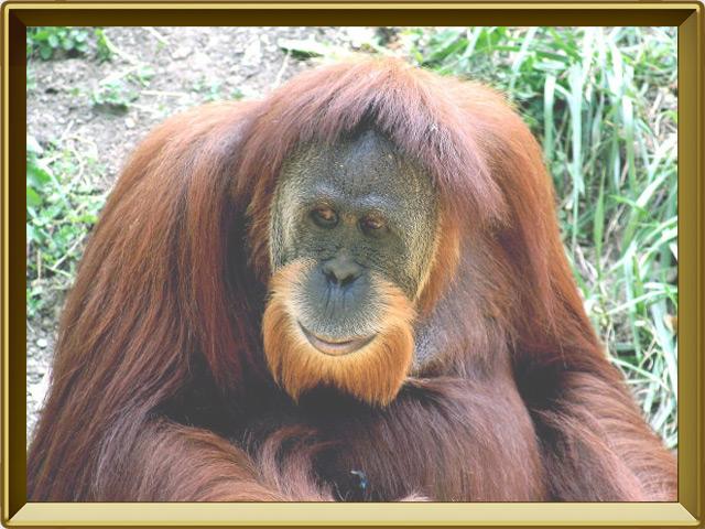 Орангутан — зверь, фото в рамке №2