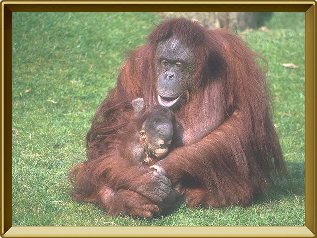 Орангутан — зверь, фото в рамке №3