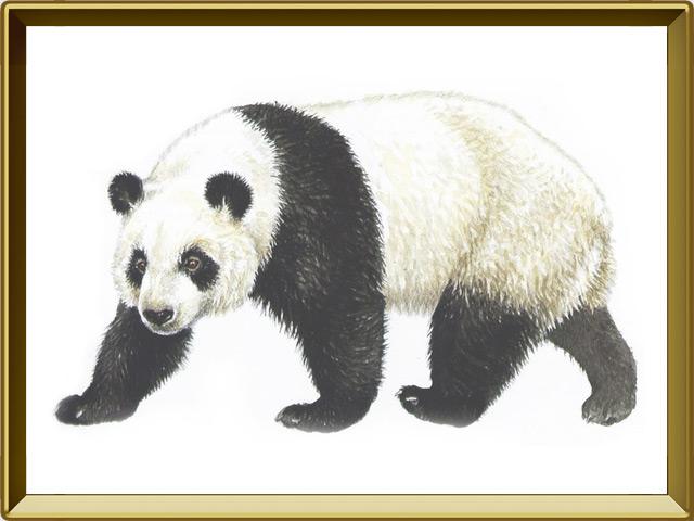 Панда — зверь, фото в рамке №1