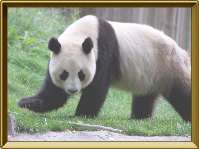 Панда — зверь, фото в рамке №2