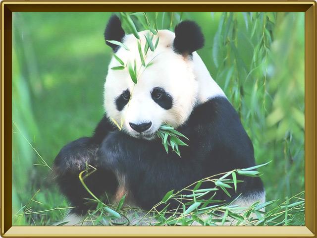 Панда — зверь, фото в рамке №3