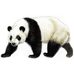 Панда — зверь, картинка цветная
