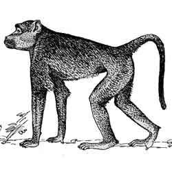 Павиан — зверь, картинка чёрно-белая