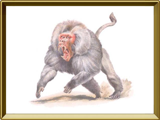 Павиан — зверь, фото в рамке №1