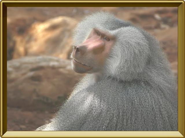 Павиан — зверь, фото в рамке №3