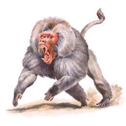 Павиан — зверь, картинка цветная