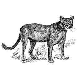 Пума — зверь, картинка чёрно-белая