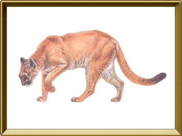 Пума — зверь, фото в рамке №1