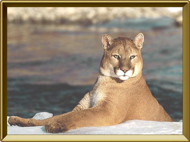 Пума — зверь, фото в рамке №3