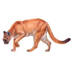 Пума — зверь, картинка цветная