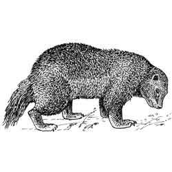 Росомаха — зверь, картинка чёрно-белая
