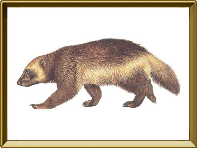 Росомаха — зверь, фото в рамке №1