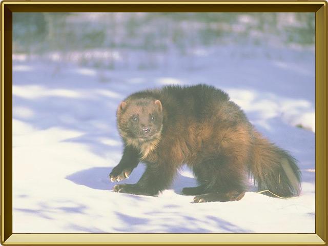 Росомаха — зверь, фото в рамке №2