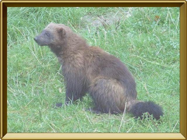 Росомаха — зверь, фото в рамке №3