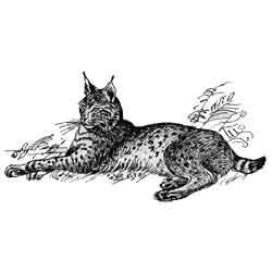 Рысь — зверь, картинка чёрно-белая