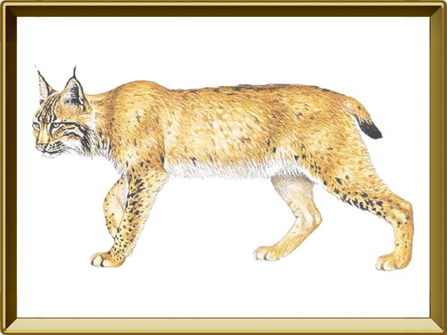 Рысь — зверь, фото в рамке №1