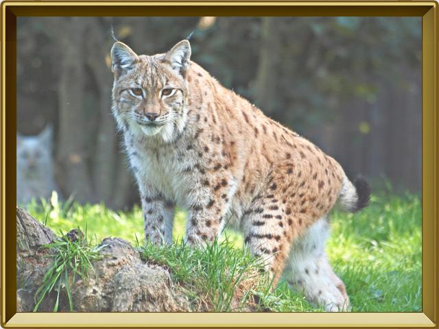 Рысь — зверь, фото в рамке №2